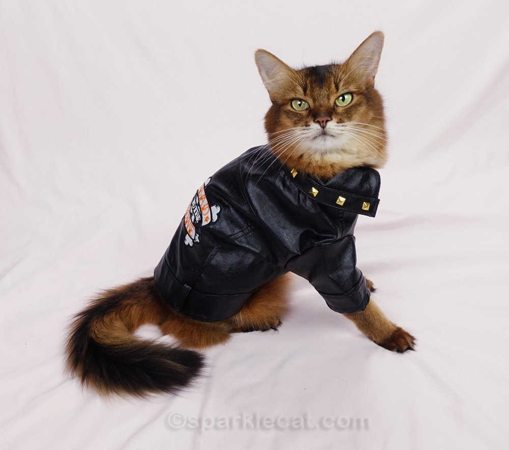 Somali cat wearing biker jacket