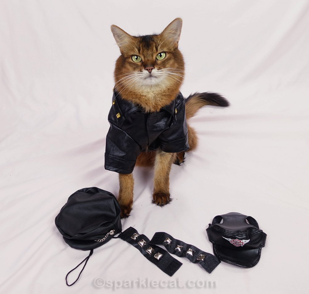 Somali cat in biker jacket, with a variety of accessories