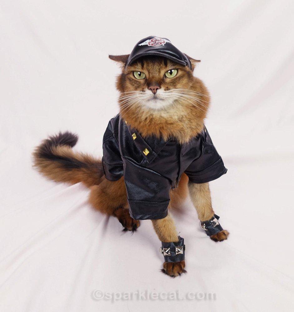somali cat with ill fitting Harley Davidson cap