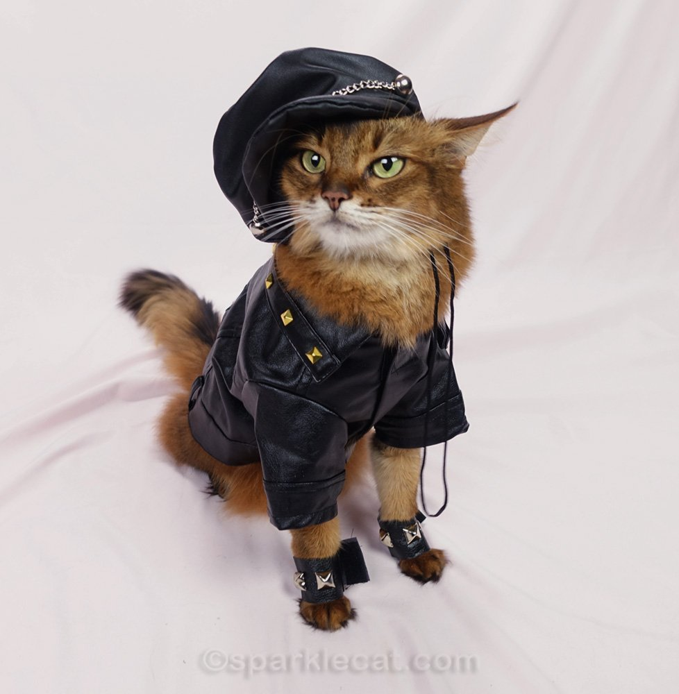 Somali cat with black biker jacket and motorcycle cap