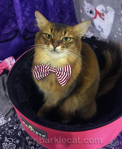 somali cat wearing candy striper tie