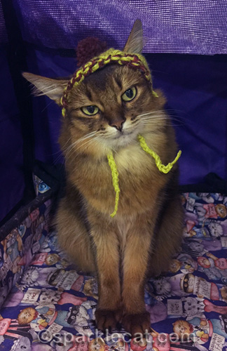 somali cat looking coy in knitted cat cap