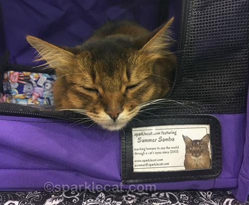 somali pet me cat sleeping at cat show
