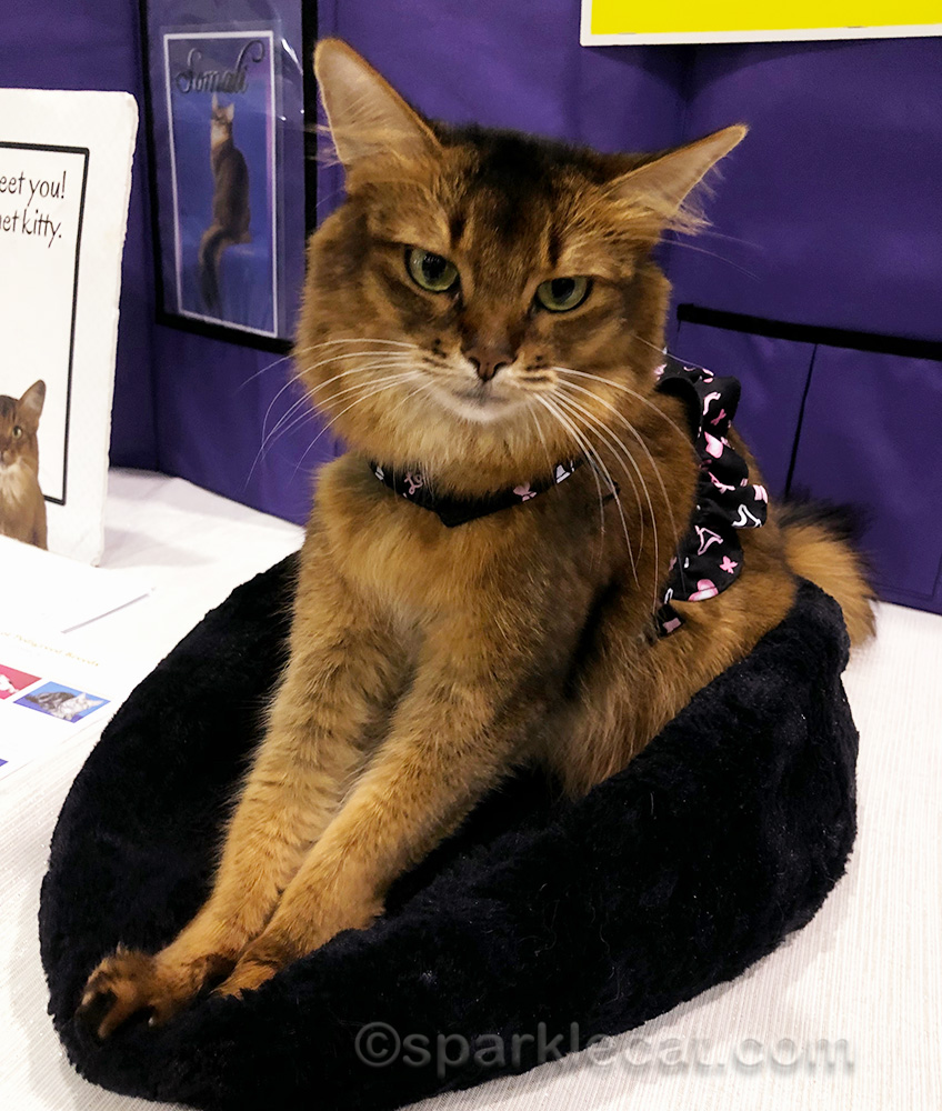 somali cat at cat show as pet me cat
