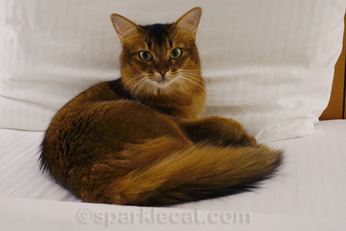 somali cat on hotel bed - one of several candids