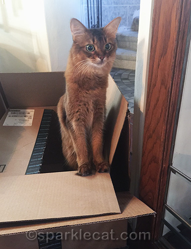 somali cat popping out of boxes