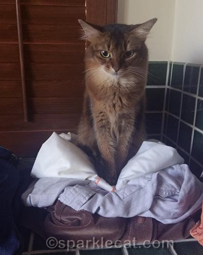 somali cat sitting on folded clothes