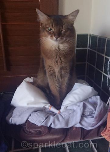 somali cat winking while sitting on clothing