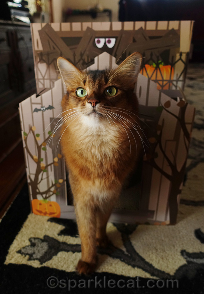 somali cat trying out partly assembled haunted house
