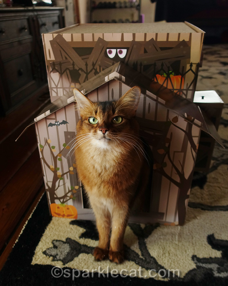 somali cat proud of her new haunted house