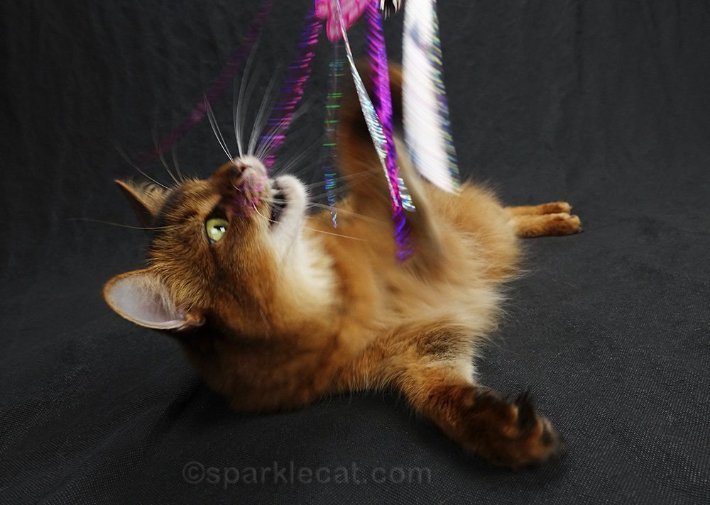 somali cat about to attack cat toy