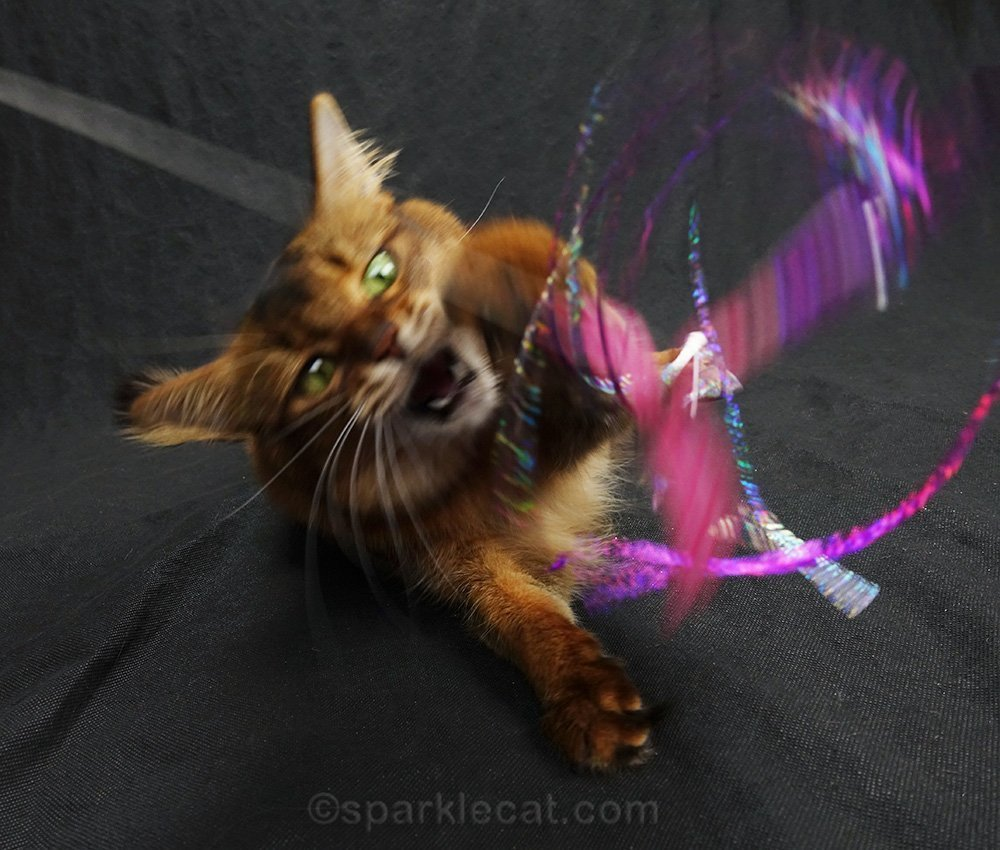 somali cat enthusiastically playing with cat toy