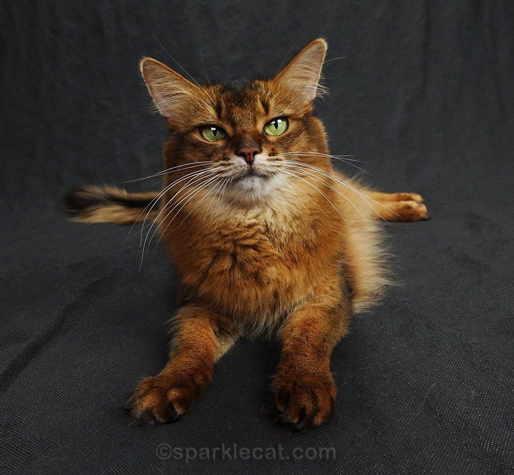 somali cat gets lively
