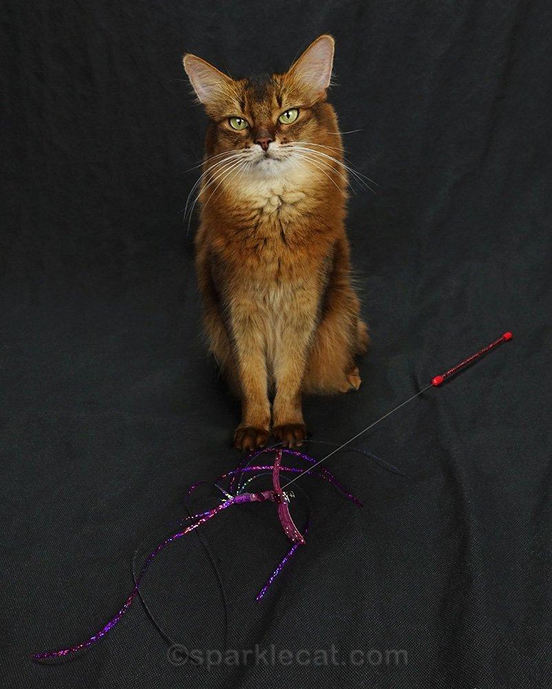 somali cat with her toy