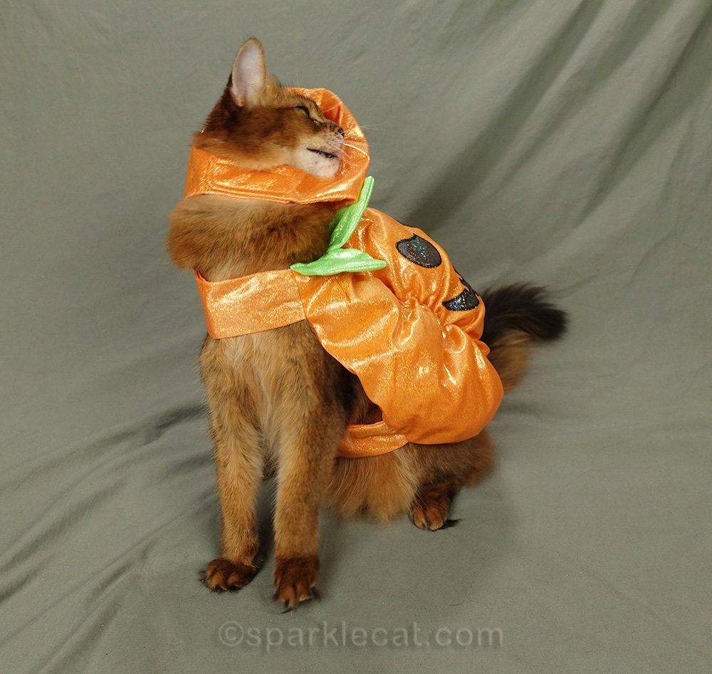 somali cat having problems with pumpkin costume
