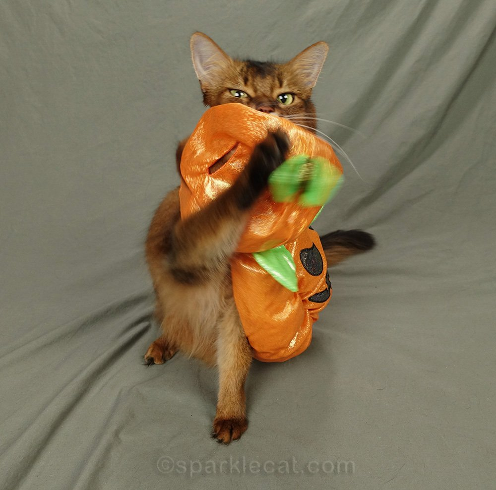 somali cat asking to have the pumpkin costume removed