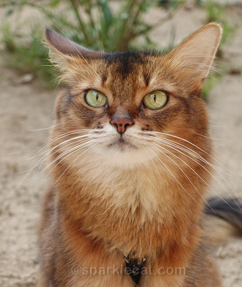 somali cat with one ear cocked back