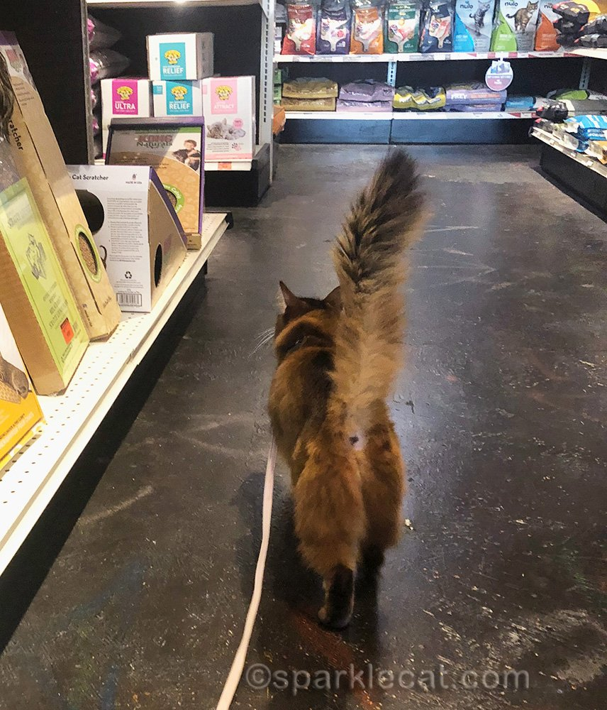 somali cat at pet store from behind