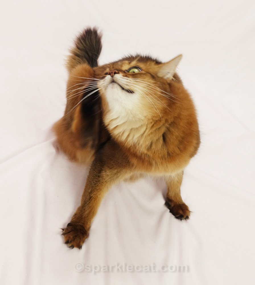 Somali cat on the set, scratching her ear