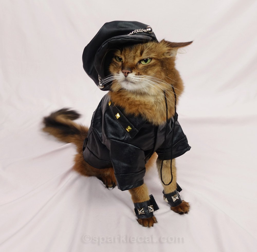 Somali cat in motorcycle hat and jacket, looking tough