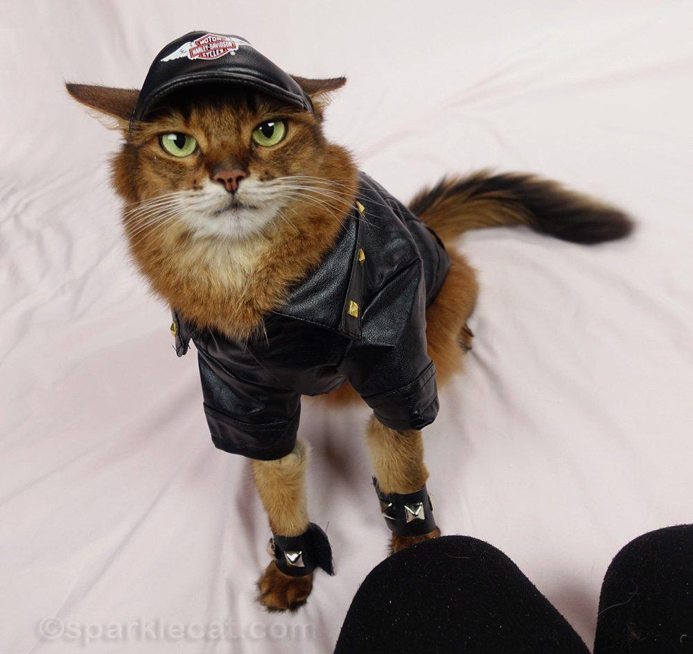 somali cat in motocycle jacket and Harley Davidson cap, wanting treats