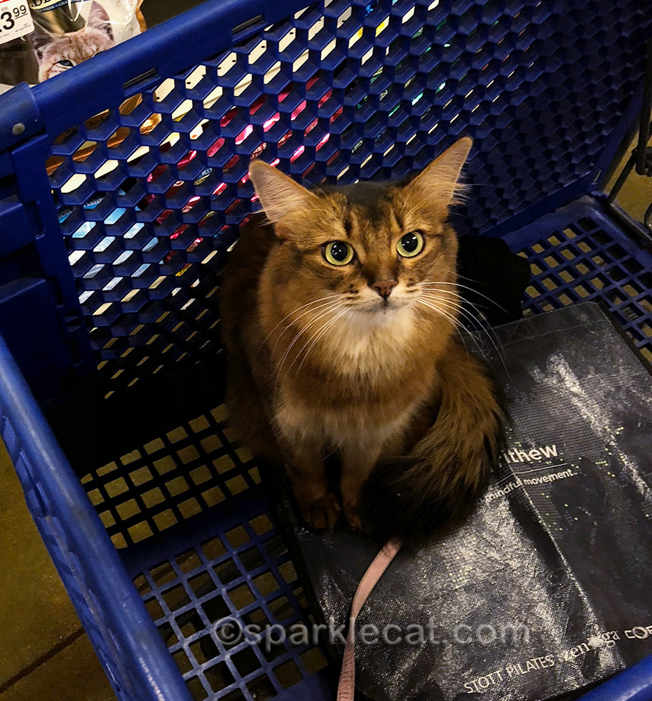 somali cat in shopping cart is a portable kitty