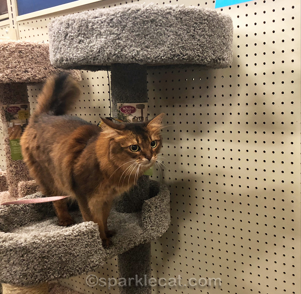 somali cat trying to jump from one cat tree to another.