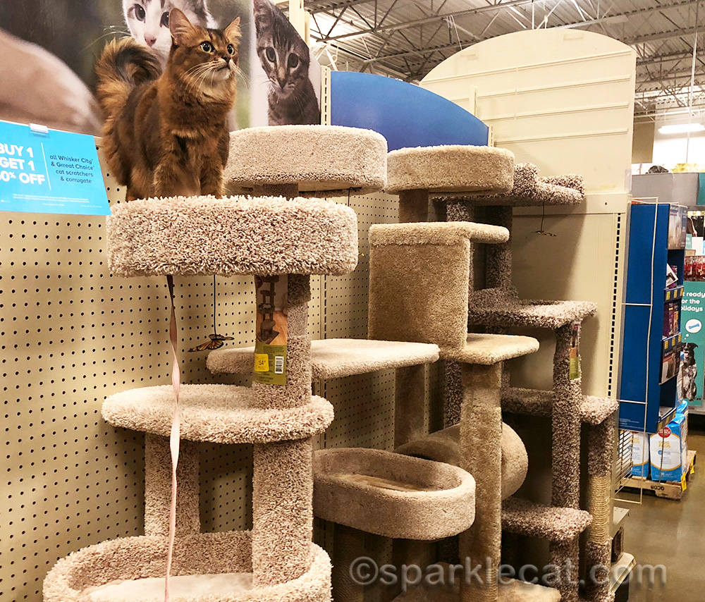 somali cat on top of the cat tree