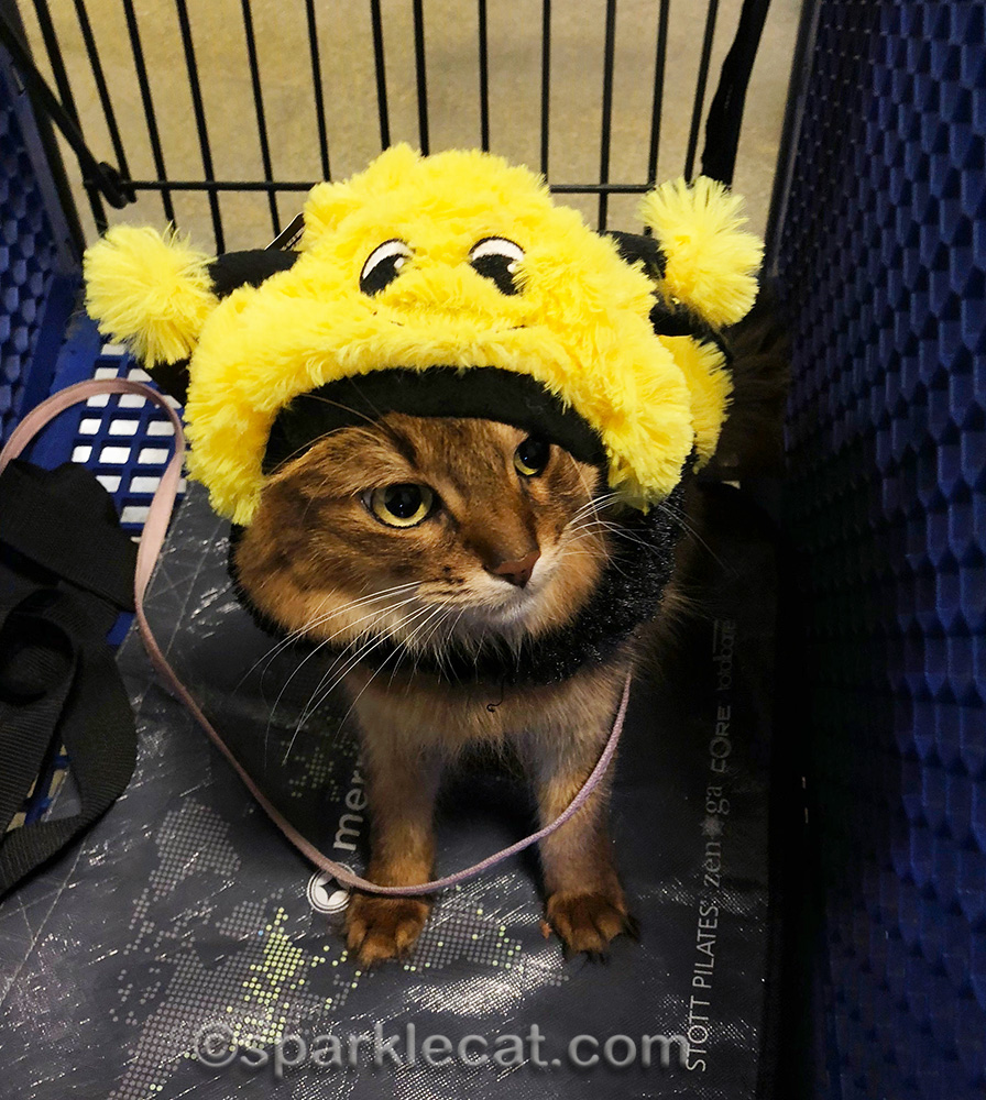 somali cat wearing bee costume at petsmart