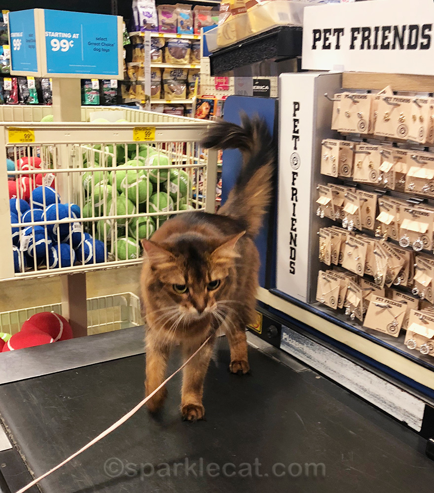 somali cat on checkout counter moving belt