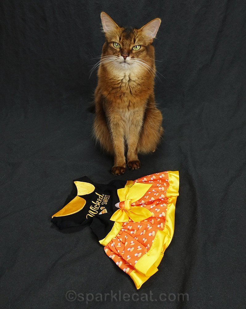 somali cat with candy corn dress