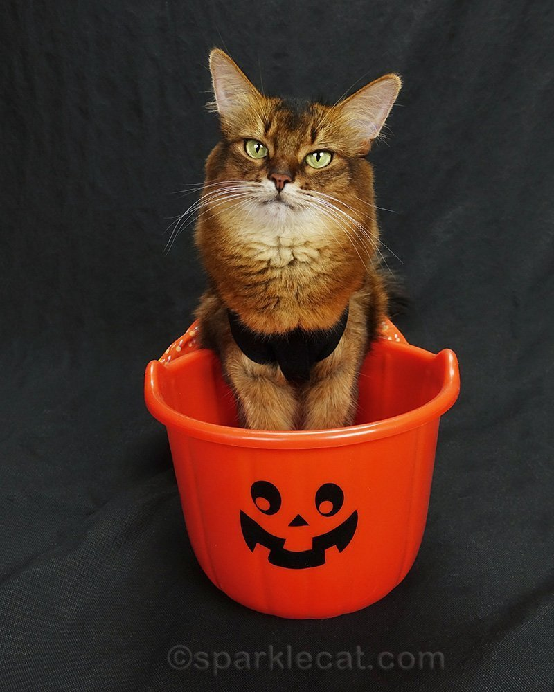 somali cat in candy corn dress with front paws in Halloween treat bucket