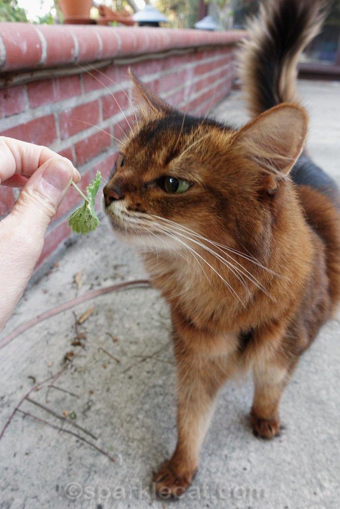 Somali cat checking out bug infested catnip leaf