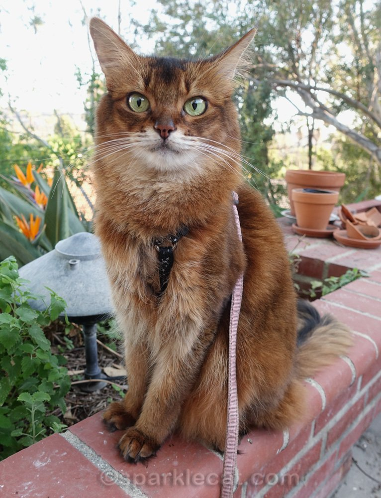 somali cat worried about her catnip