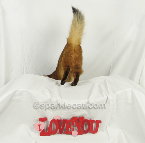 somali cat shows her behind for Valentine's Day shoot