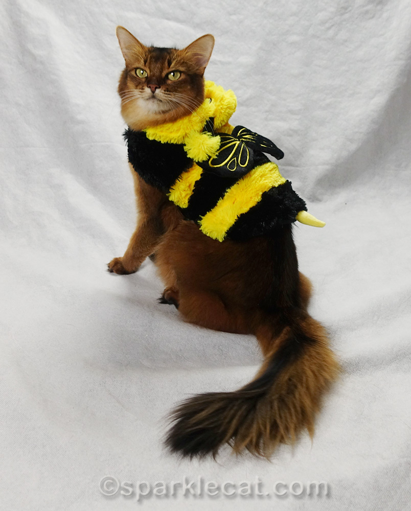 somali cat showing off back of bee costume