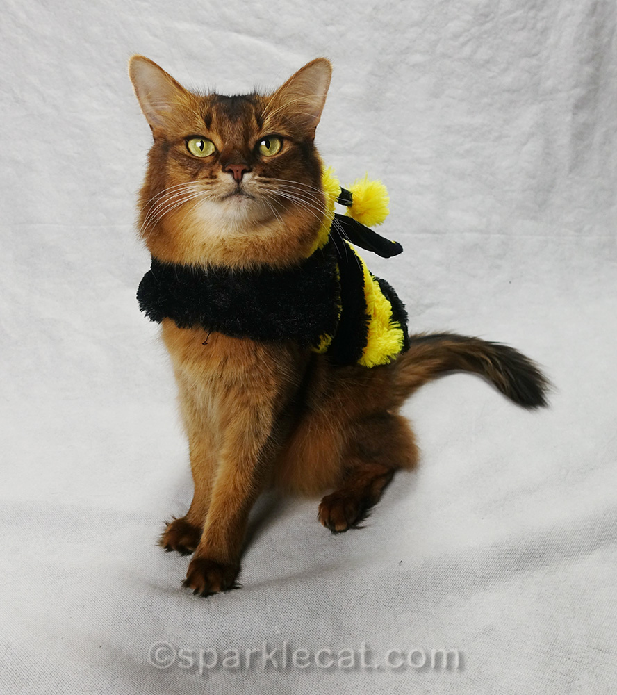 somali cat in bee costume, waiting for treats