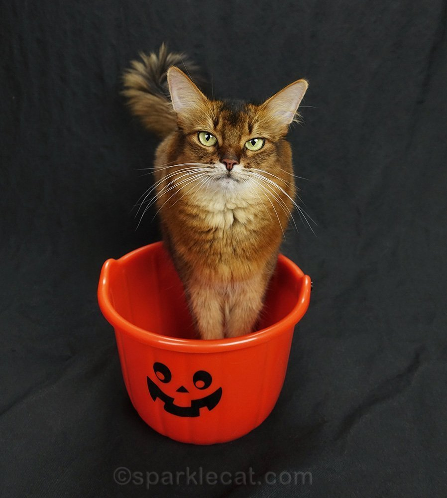 somali cat with paws in treat bucket