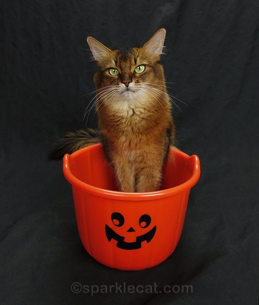 somali cat posing with paws in treat bucket