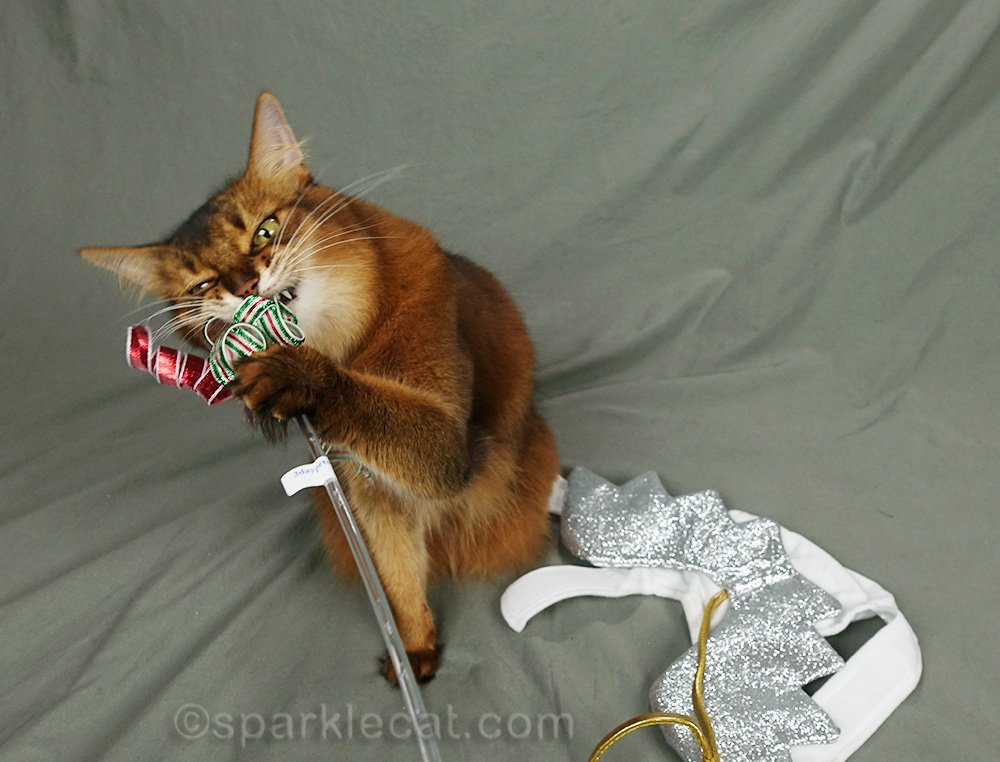 somali cat playing with cat toy after modeling
