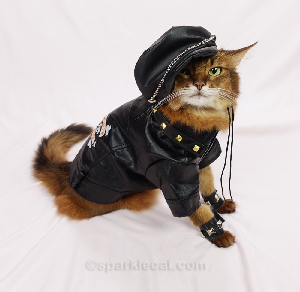 Somali cat dressed up in motorcycle jacket and cap