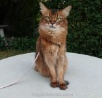 somali cat posing on outside concrete table