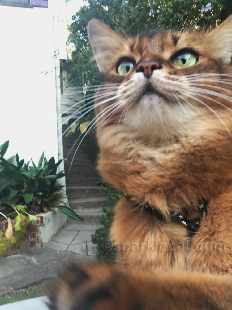 somali cat reaching for iPhone for selfie