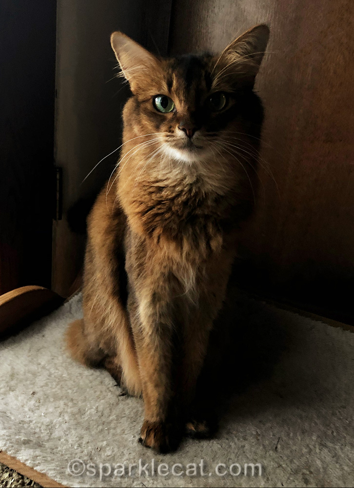 somali cat at attention