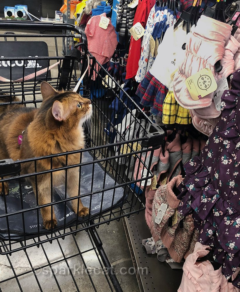 somali cat looking over clothes in pet store