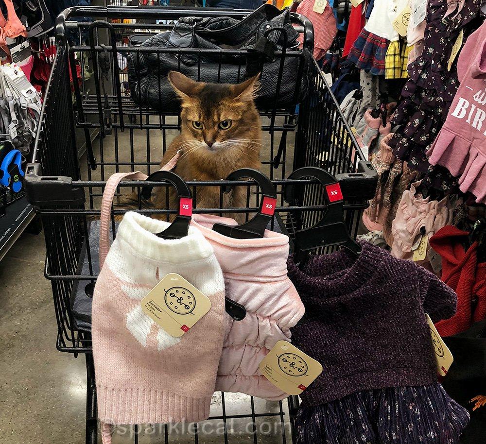 somali cat dubious about warm clothes
