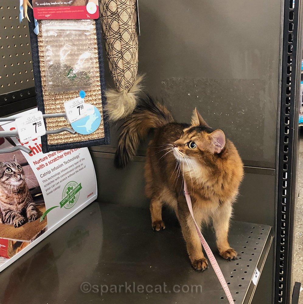 somali cat looking at door knob scratcher with catnip