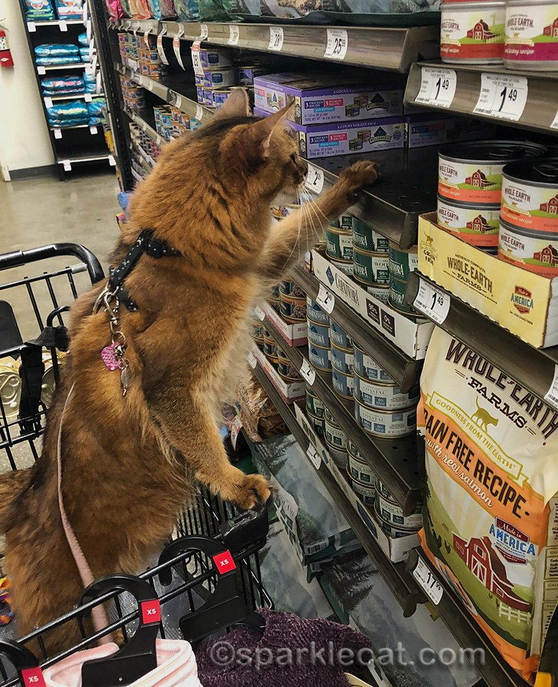 somali cat looking at shelf of cat food