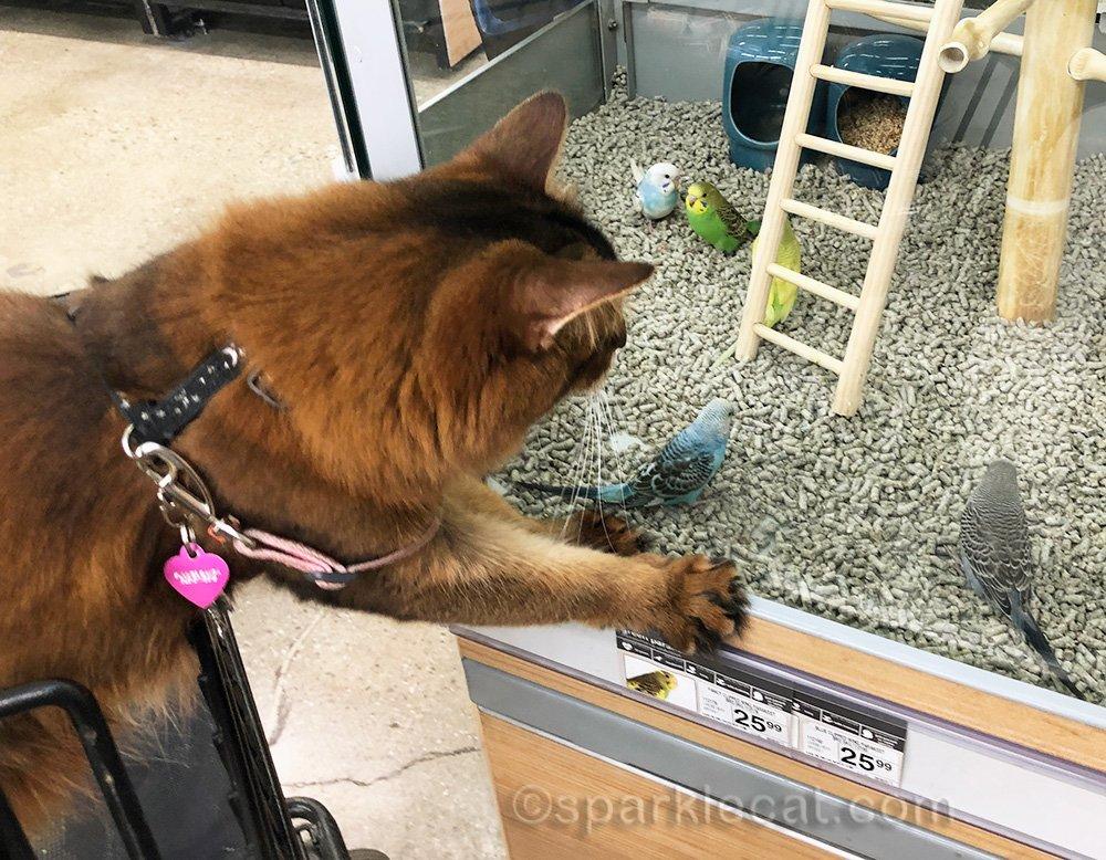 somali cat looking at the parakeets