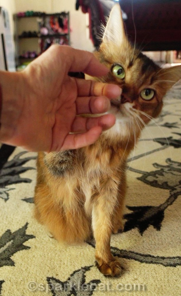 Somali cat getting petted by human
